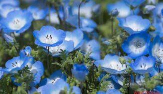 Mavi Gözlü Bebek Çiçeği (Nemophila)