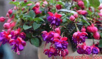 Küpeli Çiçeği