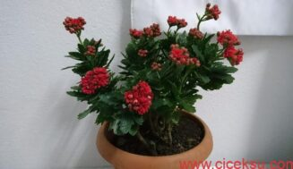 Kalanchoe Çiçeği